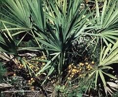 palma sabałowa wstrzymuje łysienie