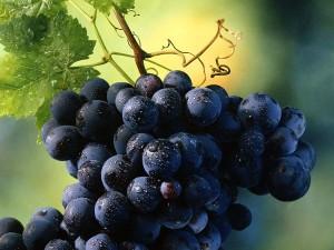 Winogron można wykorzystywać jako lek na łysienie