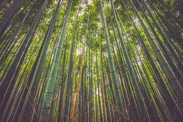 Bambus zwyczajny na wypadanie włosów
