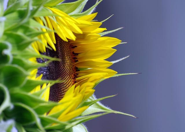 sunflower-4059941_640