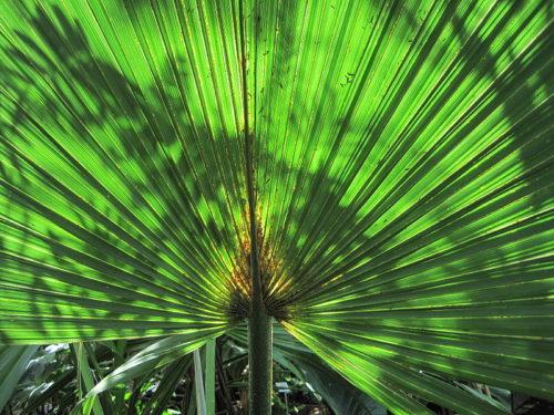 palma-sabalowa