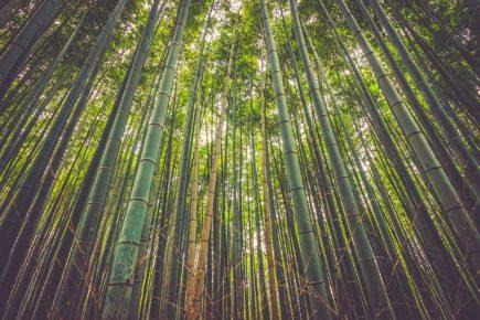 Bambus zwyczajny właściwości
